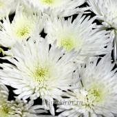 Хризантема одноголовая Анастасия, белая