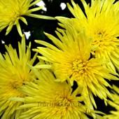 Хризантема одноголовая Анастасия, желтая